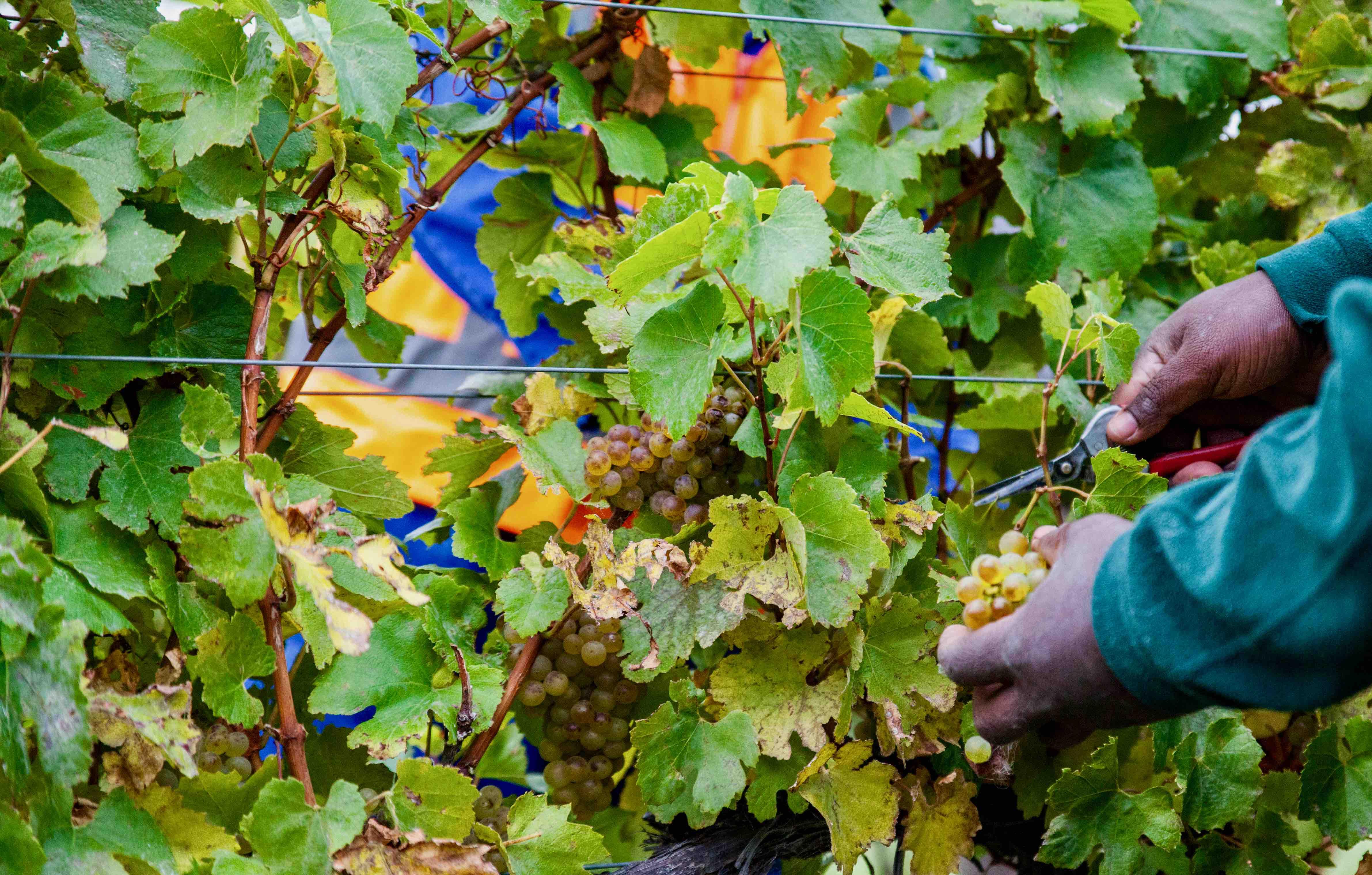 Foxes Island Chardonnay Harvest